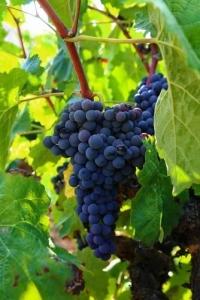 wineries in tuscany - antinori